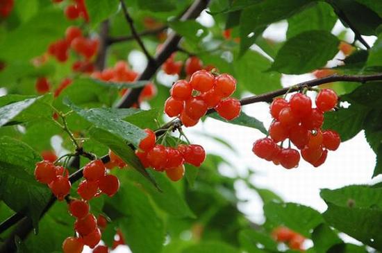 许昌鄢陵 红樱桃 带您摘