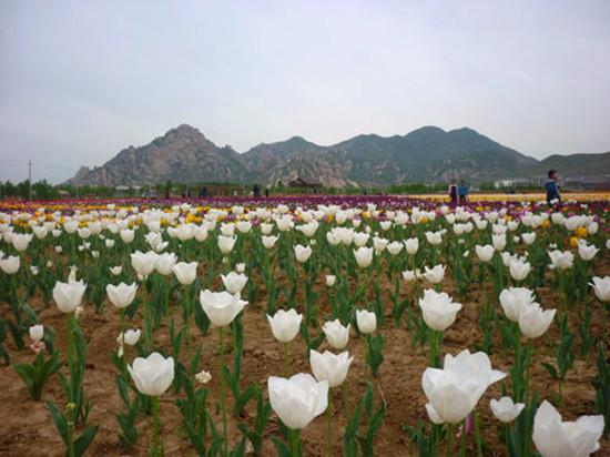 河南/文章摘要:郁金香是荷兰的国花,象征着高贵、典雅、博爱、幸福...