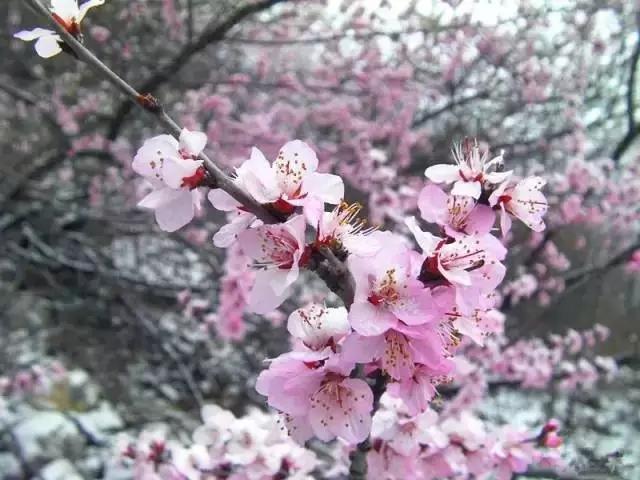 新乡周边竟然也能看到十里桃花! 美如仙境