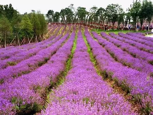 固始面积最大的薰衣草花田,西九华山花千谷景区薰衣草庄园,大家还记得