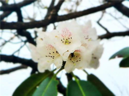 花舞人间四月天,龙峪湾首届云巅杜鹃花节绚丽来袭!