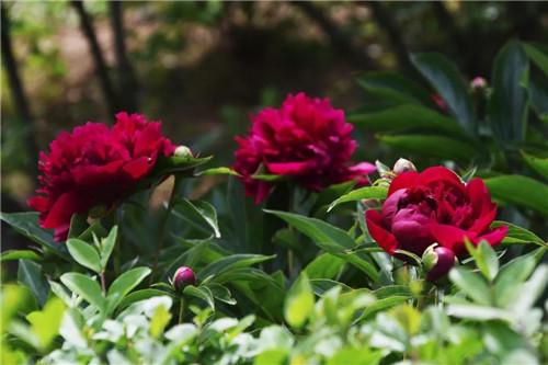鸡冠洞:牡丹携春去,芍药伴夏来